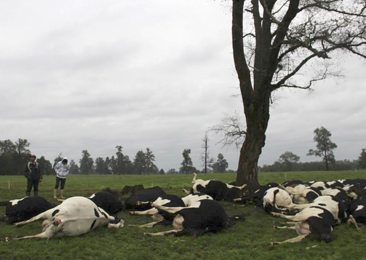 In this Monday, April 7, 2014 cell phone image provided by local station, Radio San Jose de Alcudia and downloaded from its Facebook page, a herd of cattle carcasses skirt a tree on a ranch in Rio Bueno, Chile.
