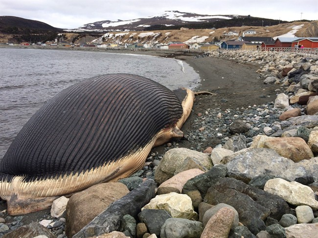 People in Trout River, N.L. feared when a bloated, decomposing blue whale might explode.