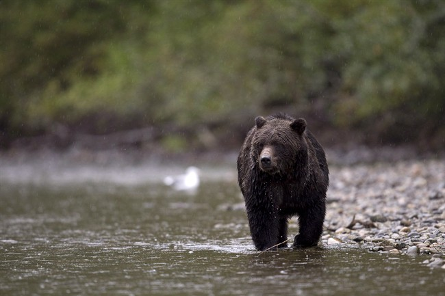 B.C.'s expanded spring grizzly hunt opens - image