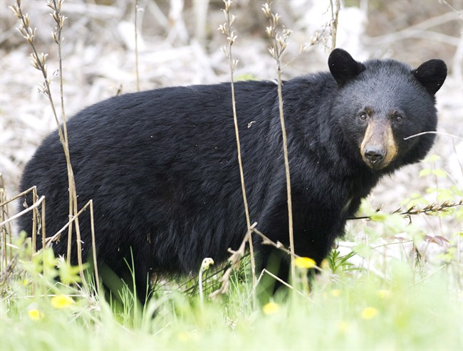 A black bear roams the forest near Timmins, Ont., on May 27, 2012.