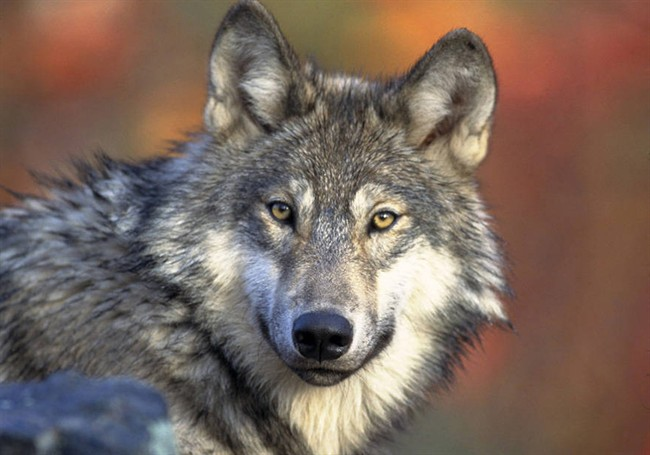 The provincial government said it planned to have hunters shoot as many as 184 wolves from helicopters last year, but wound up killing just half that amount.