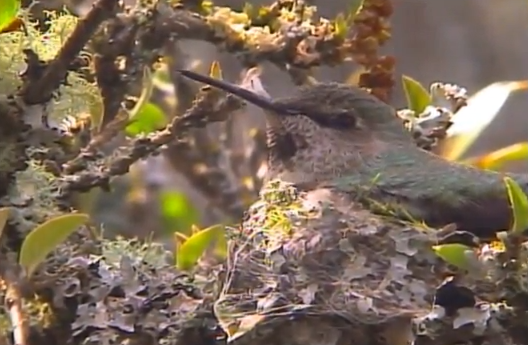 WATCH: Victoria's hummingbird live cam a big hit with online audiences - image