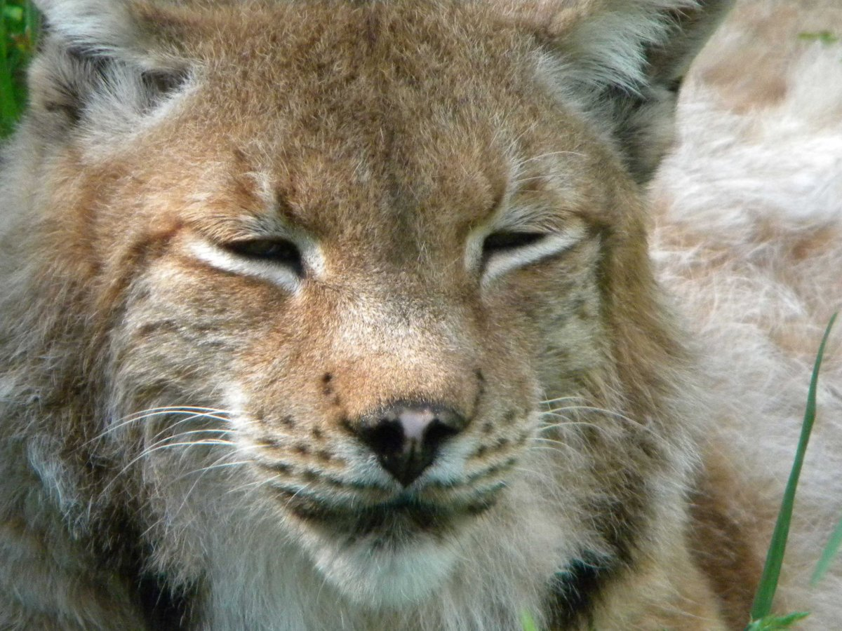 Papa the lynx had to be put down after he failed to respond to cancer treatment.