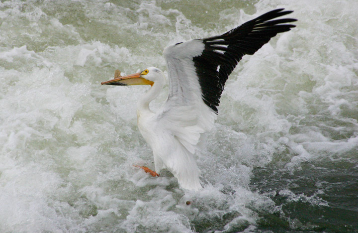 Latest arrival in almost two decades for people waiting for pelicans to land at Saskatoon's weir.