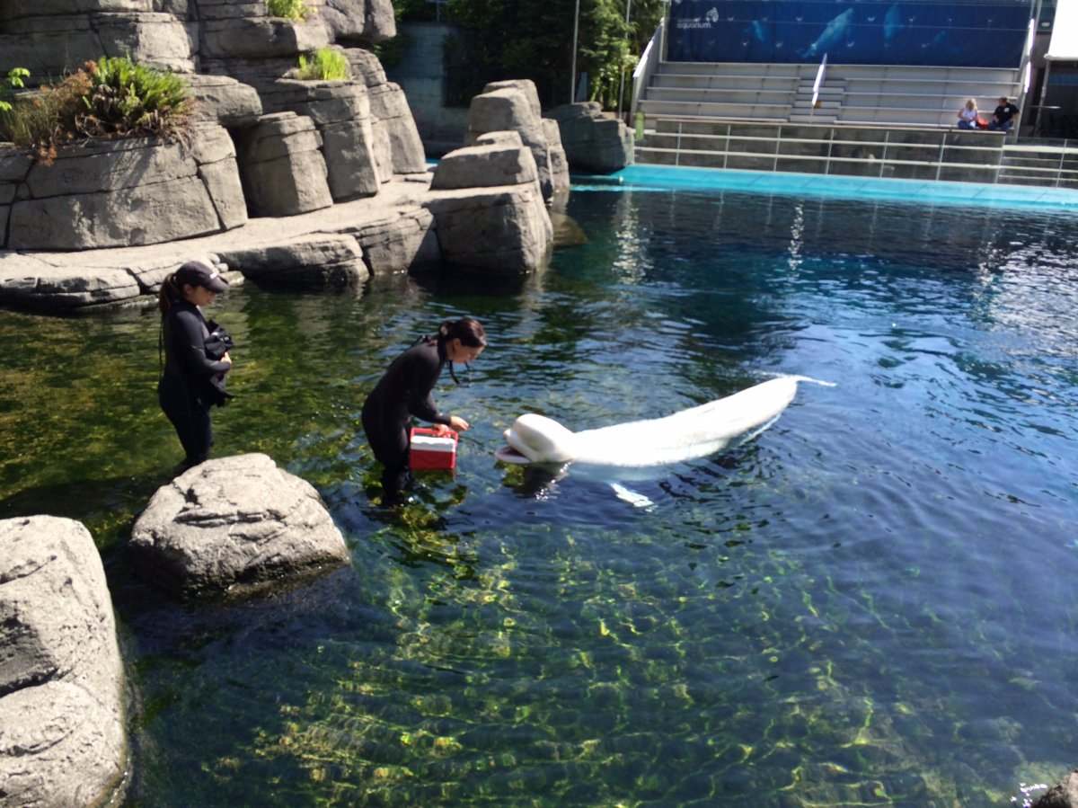 Trainers interact with a beluga whale at the Vancouver Aquarium.