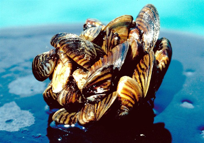In a photo provided by the U.S. Department of Agriculture, a group of zebra mussels, taken from Lake Erie, are seen in an undated photo.