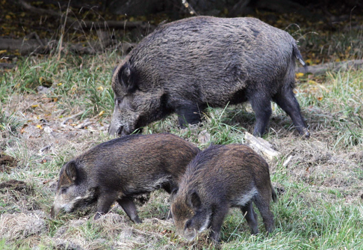 Intervention needed to combat widespread wild boar infestation in Saskatchewan, according to U of S researcher.