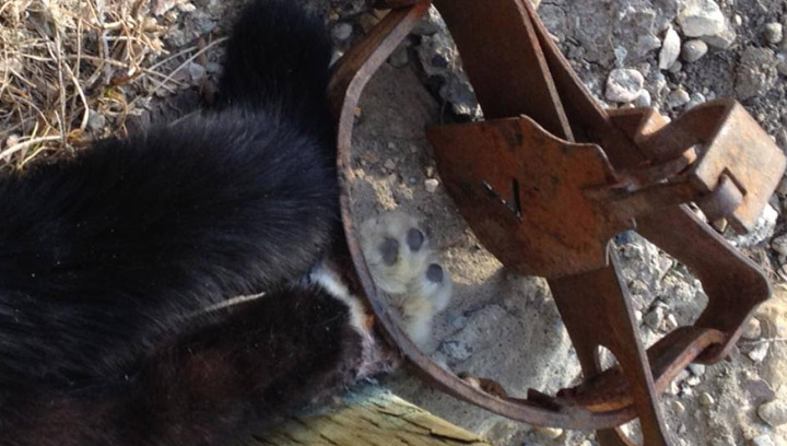 A cat was discovered in a Saskatoon neighborhood on Monday with its paw stuck in an illegal trap likely set out to capture coyotes.