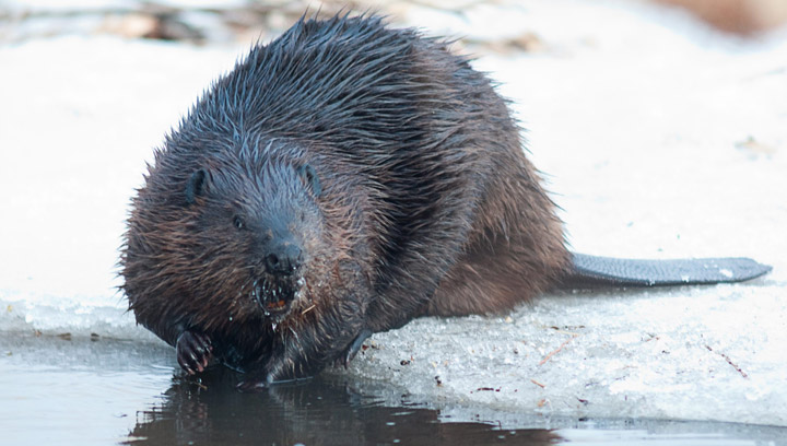 Beaver out for a swim in a public park in the borough of Lasalle in Montreal. RCMP put down beaver found walking on a Watrous, Sask. street with multiple injuries and charged man under Wildlife Regulations Act.
