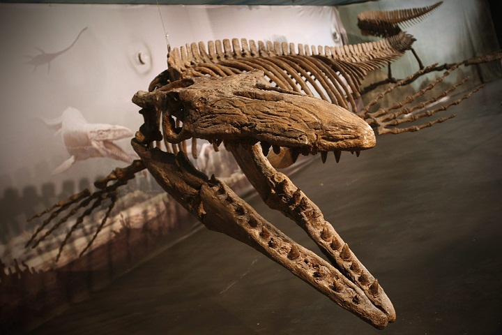 Bruce, on display at the Canadian Fossil Discovery Centre in Morden, Man., is the largest publicly exhibited mosasaur in the world, the centre says. The museum is one of seven with endowment funds set up by the Manitoba government Friday.