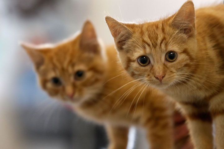 Two kittens awaiting new homes.