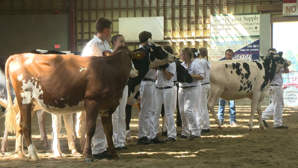 Participants in a  4-H dairy competition at the Interior Pacific Exhibition being judged on showmanship.