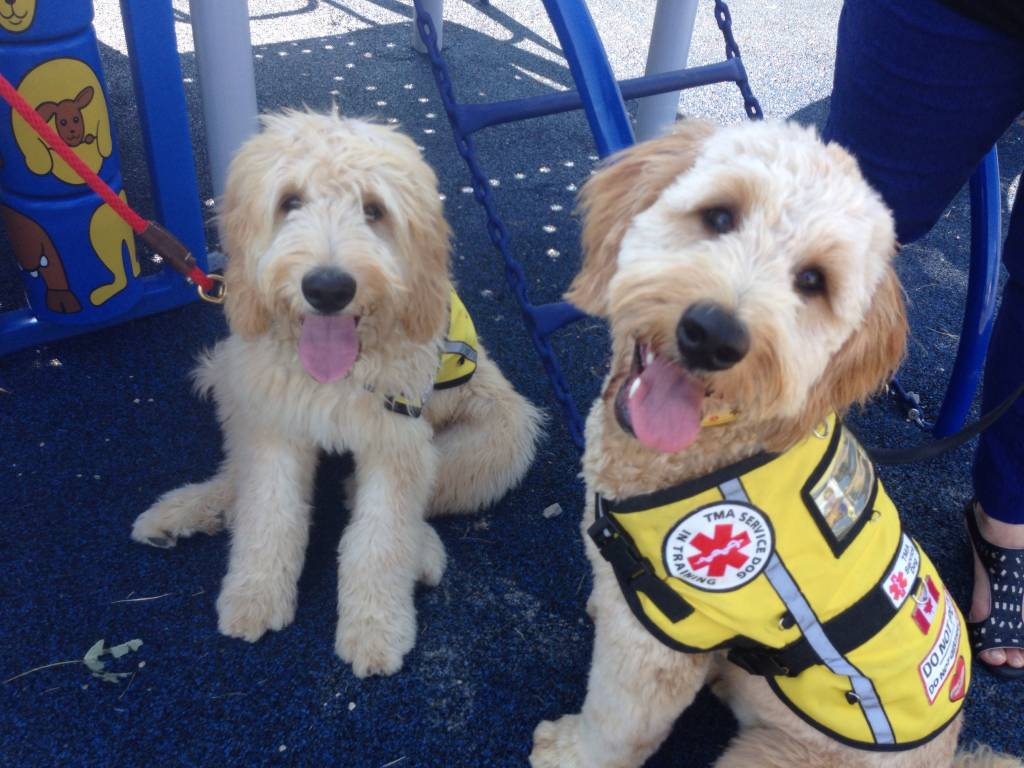 Therapeutic Medical Alert Service Dogs are hoping more people come forward, willing to become a foster parent to a service dog.