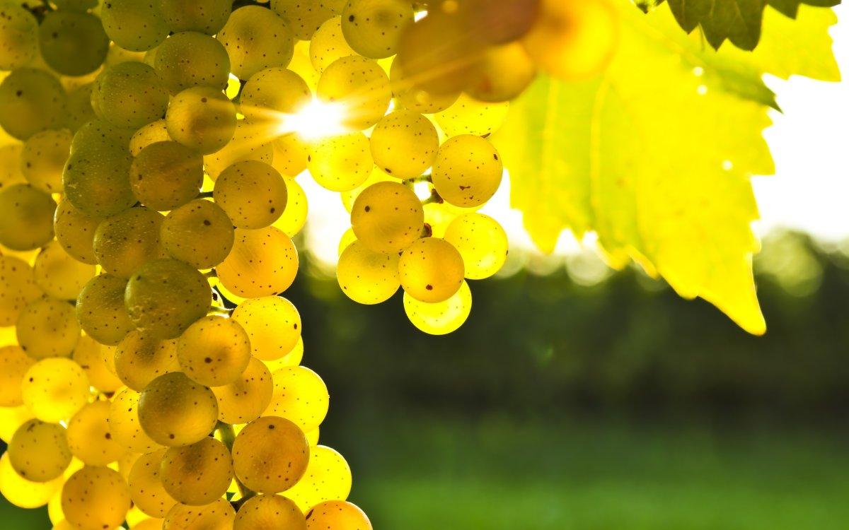 Okanagan grape growers expect bumper crops - image