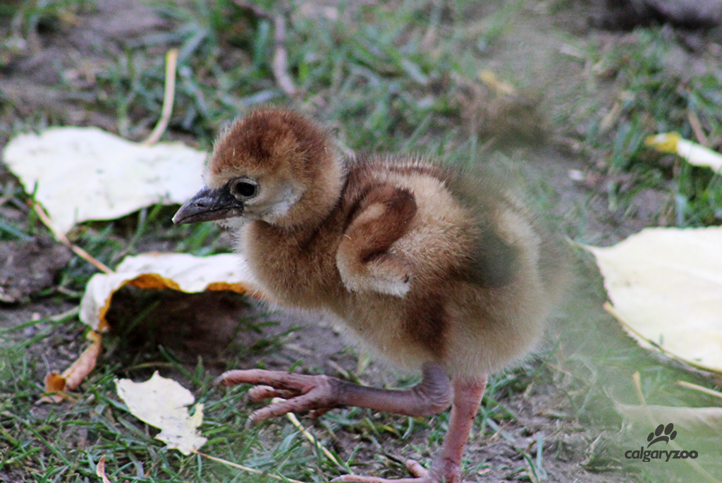 African Crowned Crane Chick.