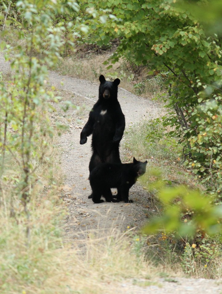 Bear sightings along the Mission Creek Greenway in Kelowna have prompted a frequent visitor to take photos.
