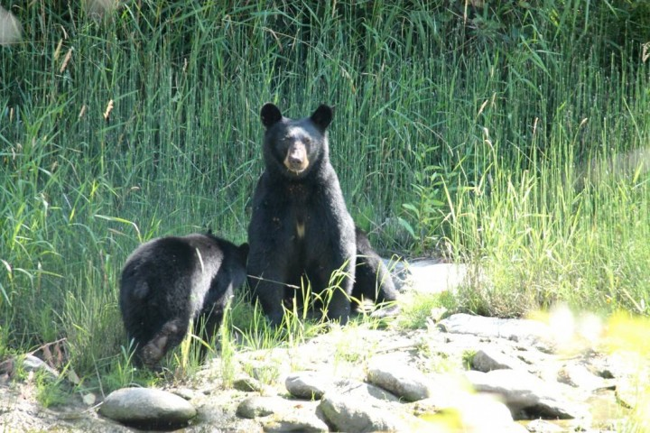 Black bears have been spotted numerous times on the Mission Creek Greenway in Kelowna this summer.