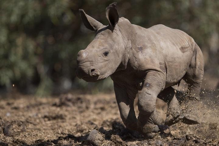 A newly born female White Rhino runs in Ramat Gan Safari Park near Tel Aviv, Israel, Wednesday, Sept. 3, 2014.