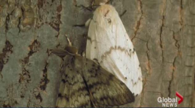 European Gypsy Moth.