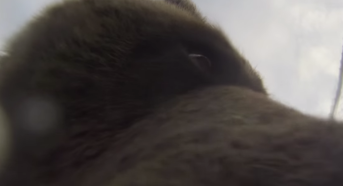 This curious bear picked up a GoPro in Glendale Cove in mid-September.