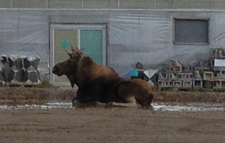 Moose Brandon Manitoba