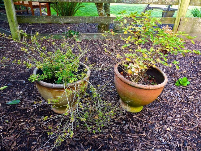 Over-wintering your perennials in pots