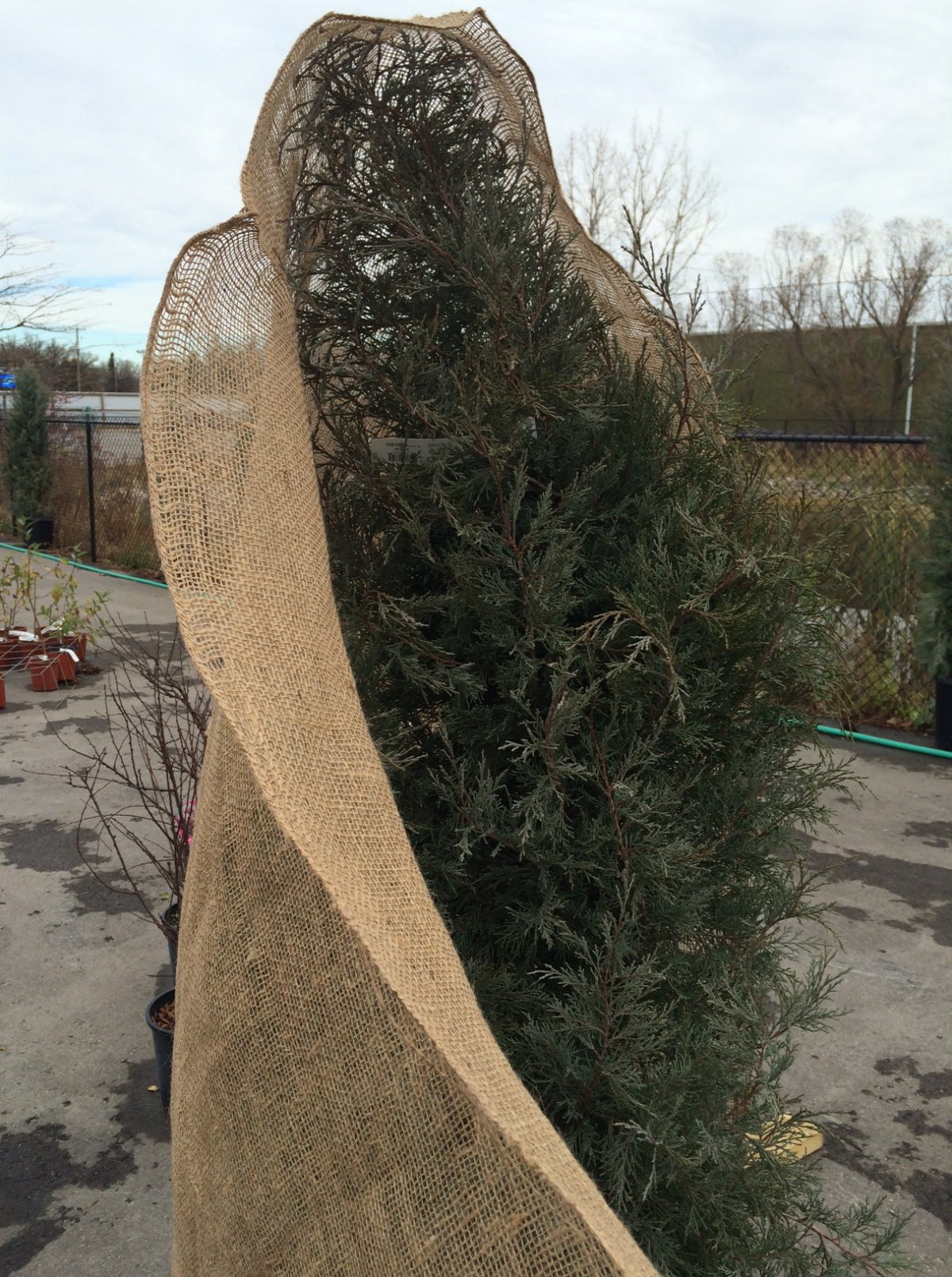 Wrapping Evergreen trees in burlap will help them make it through winter.