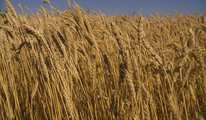 Harvest is wrapping up in Saskatchewan and farmers are coping with less than ideal grades of grain.