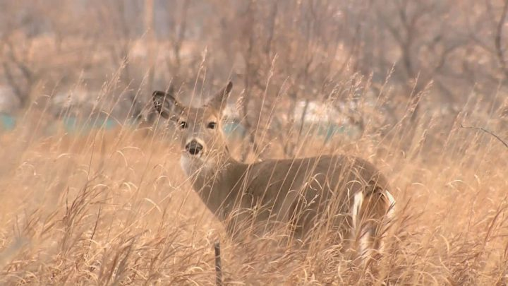 There's bad news for Saskatchewan hunters - the white-tailed deer population is in sharp decline.