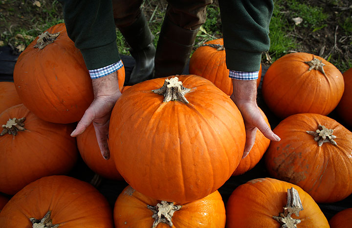 Farmer Mick Smales inspects a pumpkin that has grown on his farm and is waiting to be picked and dispatched in a field at Lyburn Farm in Landford on October 22, 2014 in Wiltshire, England.