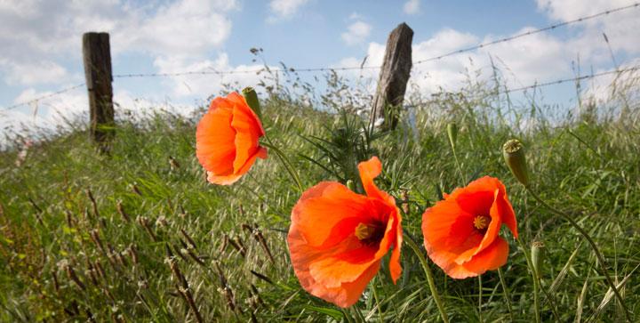 Wild poppies grow in Belgium