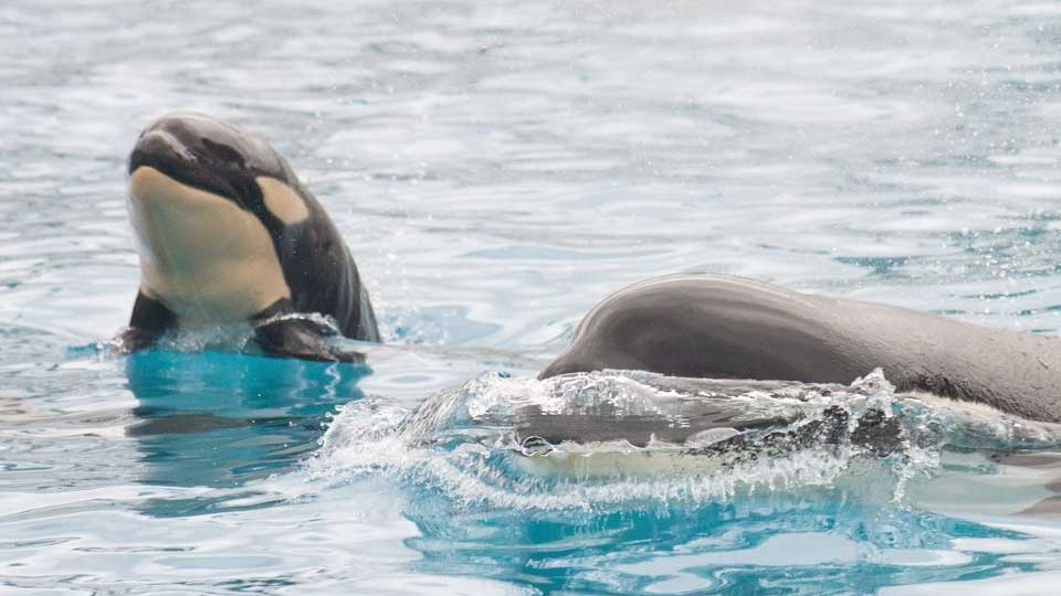 WATCH: Camera captures birth of killer whale at SeaWorld ...