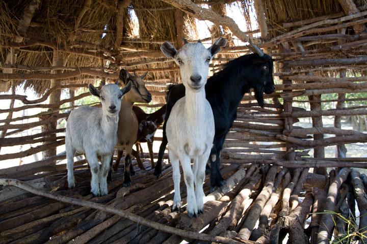 Goat Zambia