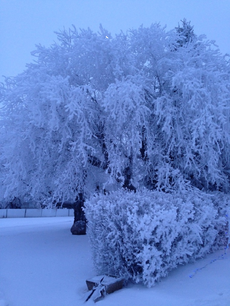 Hoar frost on trees west of Minnedosa.