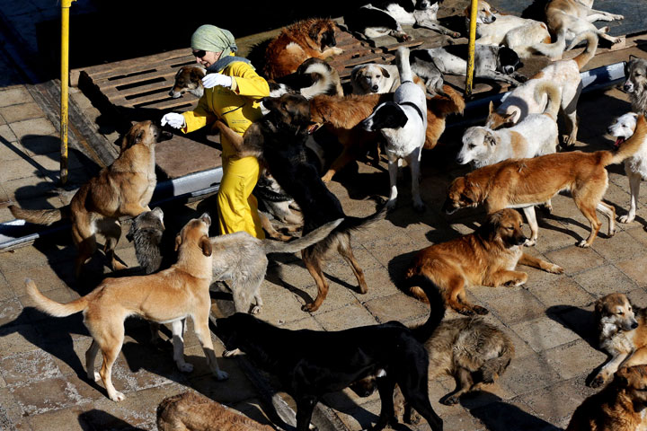 In this Friday, Dec. 5, 2014 photo, dogs cling to Iranian volunteer Hengameh Samifar as she tries to work at the Vafa Animal Shelter in the city of Hashtgerd 43 miles (73 kilometers) west of the capital Tehran, Iran. More than 500 dogs find care and affection at the Vafa Animal Shelter, which was established through an endowment in 2004 and is the country's only licensed animal refuge.