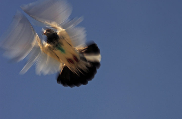 A pigeon is pictured as it flies from a coop on October 24, 2010.