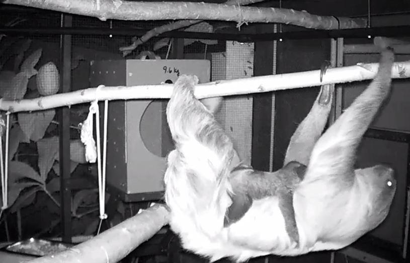 Newborn sloth at the Montréal Biodôme