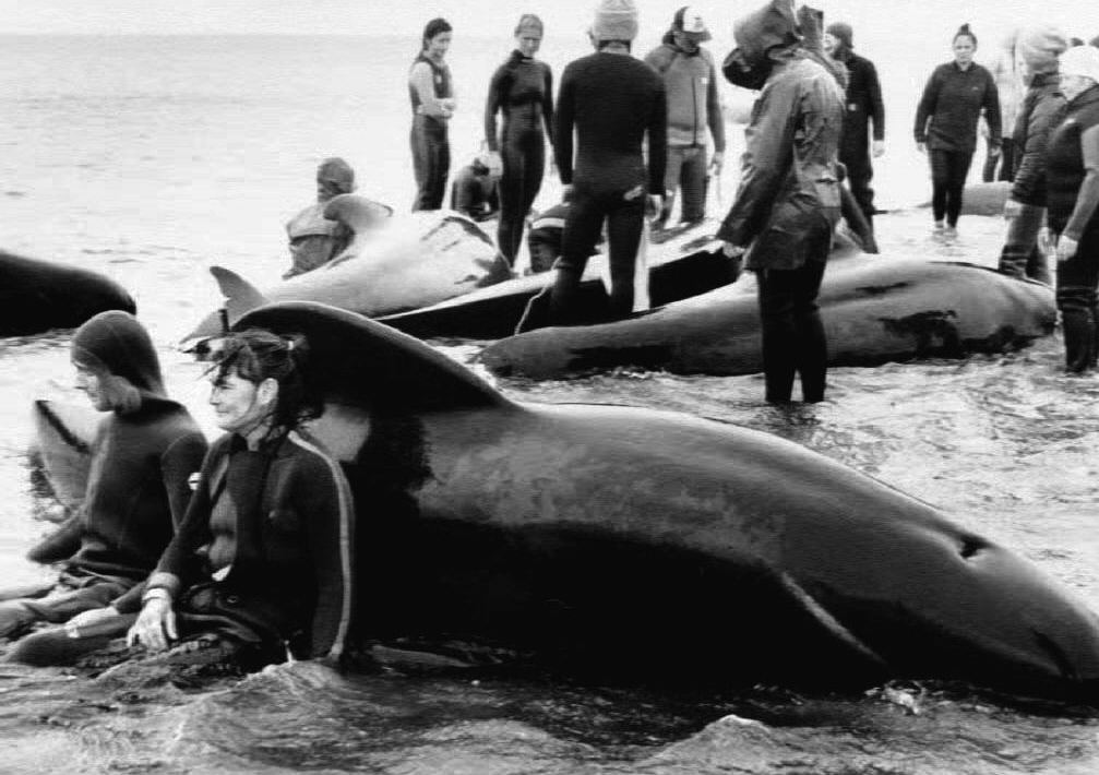 FAREWELL SPIT, NEW ZEALAND - DECEMBER 30:  Exhausted rescuers rest against a stranded pilot whale after a pod was found grounded in New Zealand 30 December 1992, the fourth such whale stranding in this area in two days.