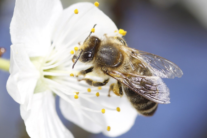 A new study suggests that one of the contributing factors in the widespread loss of bees around the world could be stress the loss of older forager bees places on younger bees.
