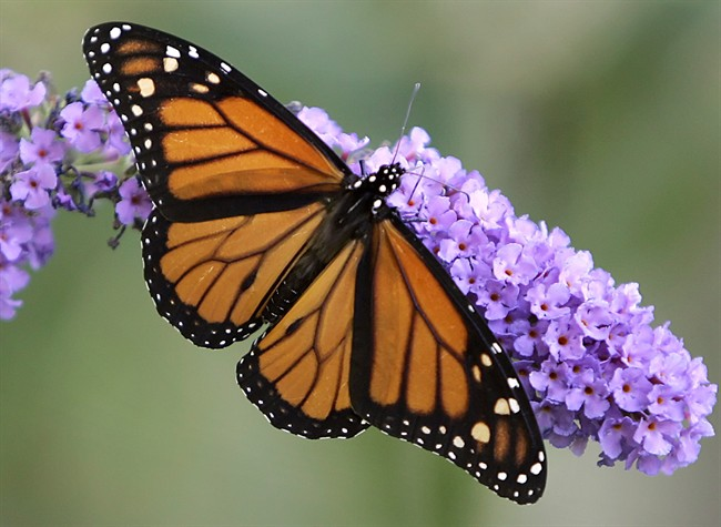 The eastern monarch butterfly could face extinction within the next 20 years, researchers of a new study say.