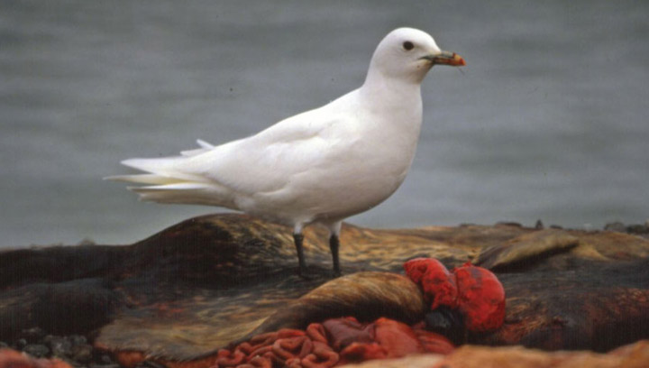 Rapidly rising rates of mercury contamination could be behind dramatic population drop of the endangered ivory gull.