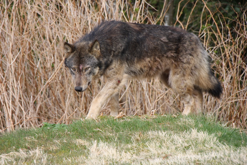 Saskatchewan has brought back its wolf hunt project, and have expanded it. What do you think about the province using a cull to control wolf populations?.