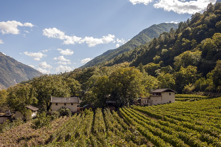 A vineyards in Cizhong, a small hamlet once inhabited by early French missionaries, along the Mekong River in northern Yunnan, China.