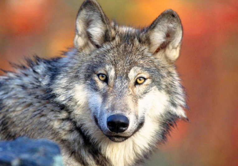The provincial government said it planned to have hunters shoot as many as 184 wolves from helicopters this year, but wound up killing just half that amount.
