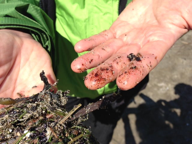No risk to general public from English Bay oil spill: coastal health - image