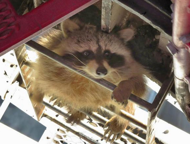A city raccoon climbed up over 200 metres to possibly get a better view of Toronto while relieving itself on a crane.