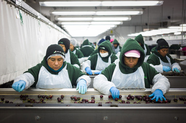 Temporary foreign workers sort and grade cherries at the Jealous Fruits plant near Kelowna, B.C. on August 19, 2014.