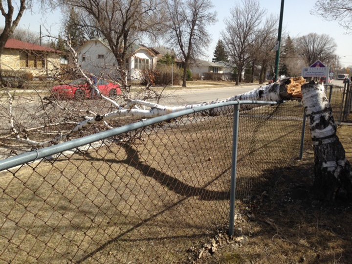 Wind Winnipeg tree down Kimberly Avenue