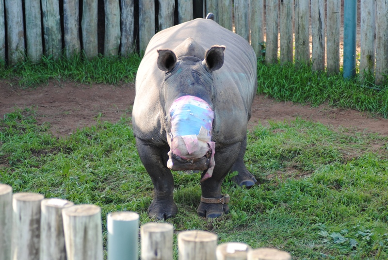 In this photo taken Friday, May 22, 2015 and supplied by Saving the Survivors, a rhino named Hope, stands in her pen in the Eastern Cape province, treated with a dressing where her horns used to be.