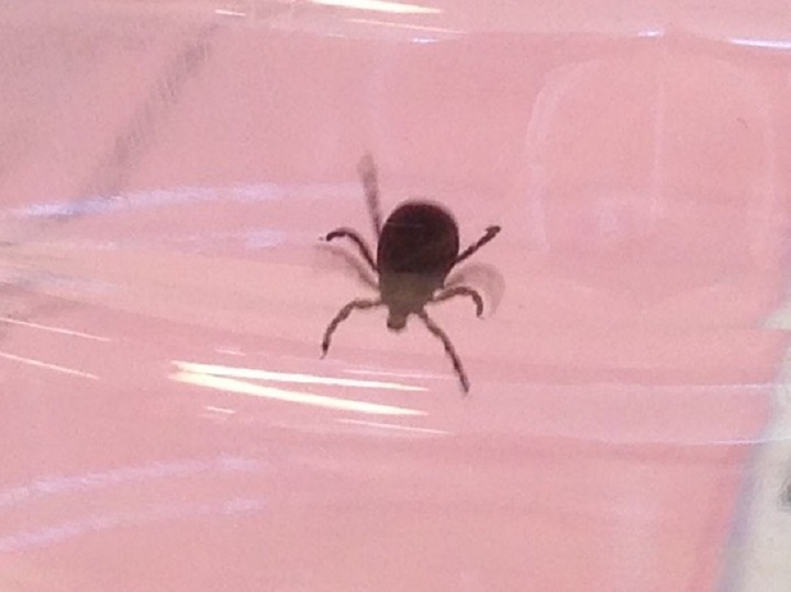 Blacklegged ticks, also known as deer ticks, are appearing across Canada.